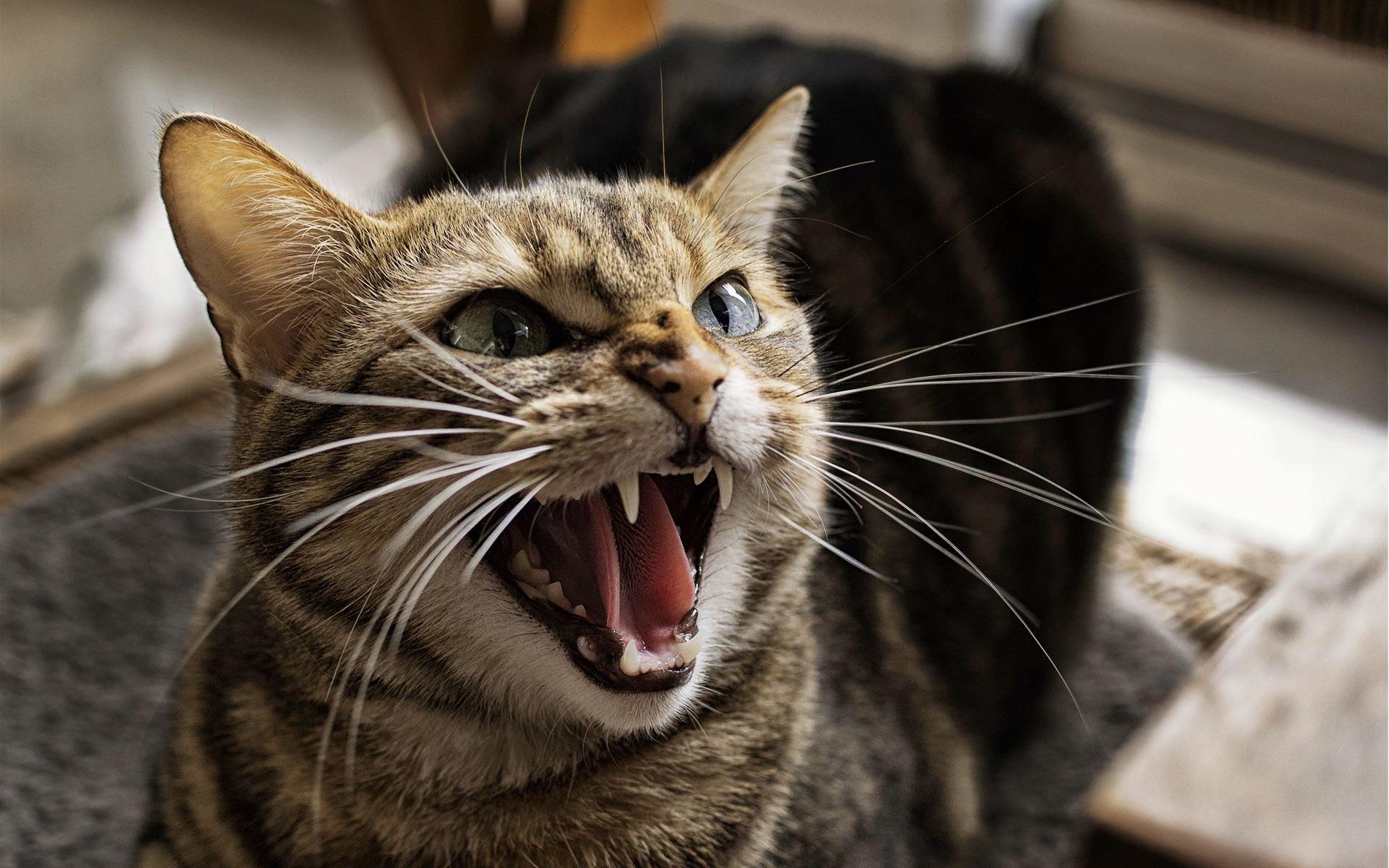 Fractious Felines