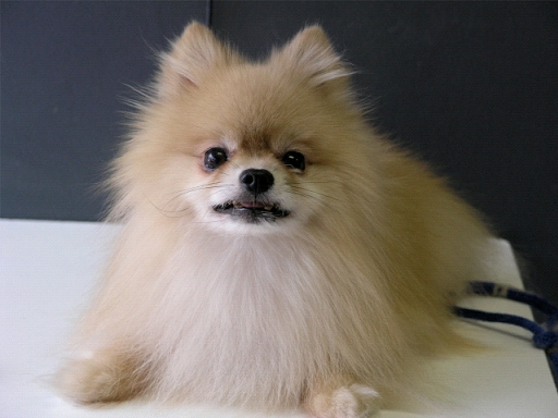 Things I Learned From a Pomeranian